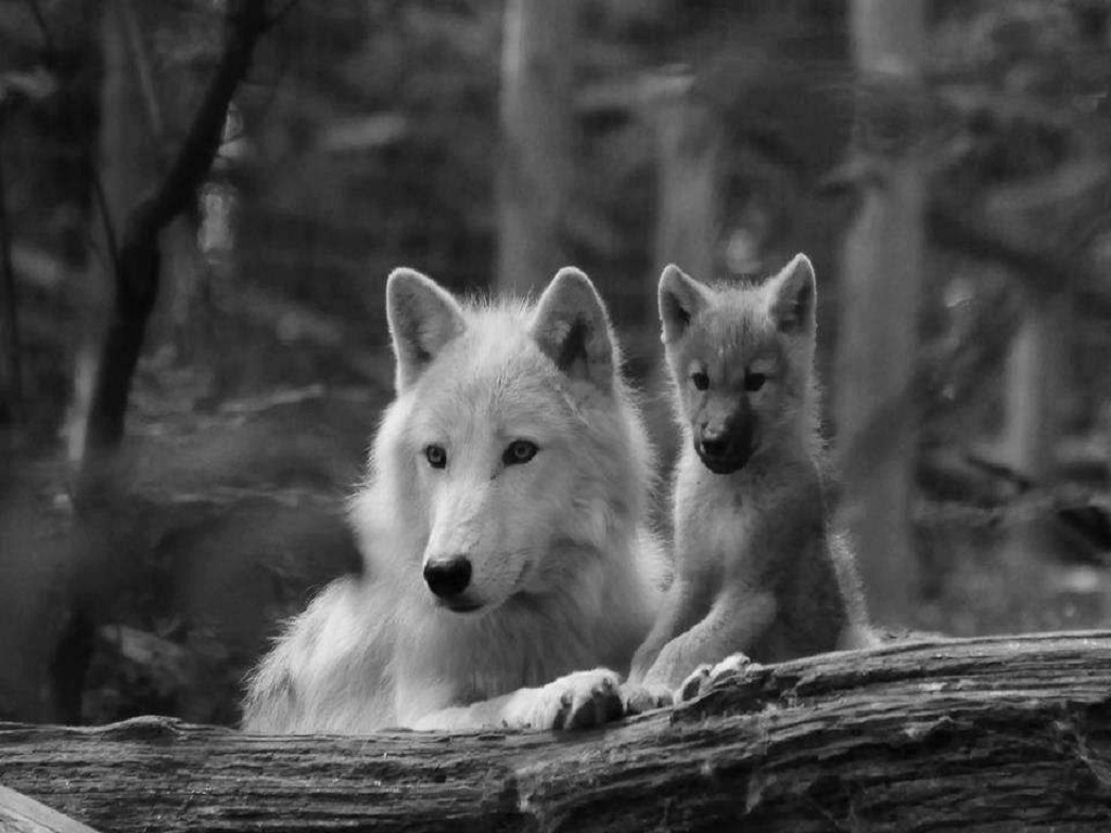 Animals wolves