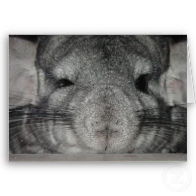 chinchilla expression