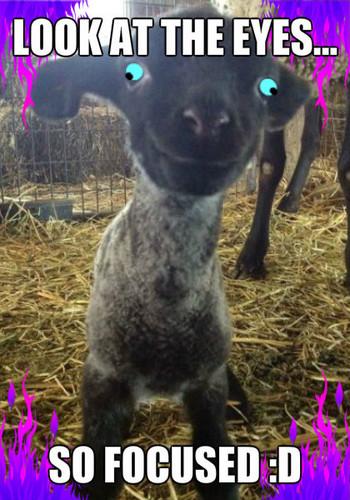 Baby मेमना, भेड़ का बच्चा