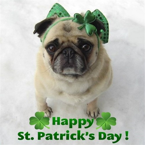 Cute Pug St. Patrick's দিন Diva!