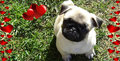 Pug Valentine Facebook Cover Photo - facebook-covers photo