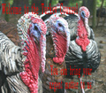 Turkey Counsel - animals photo