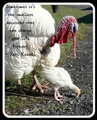 White Turkey and chick - animals photo
