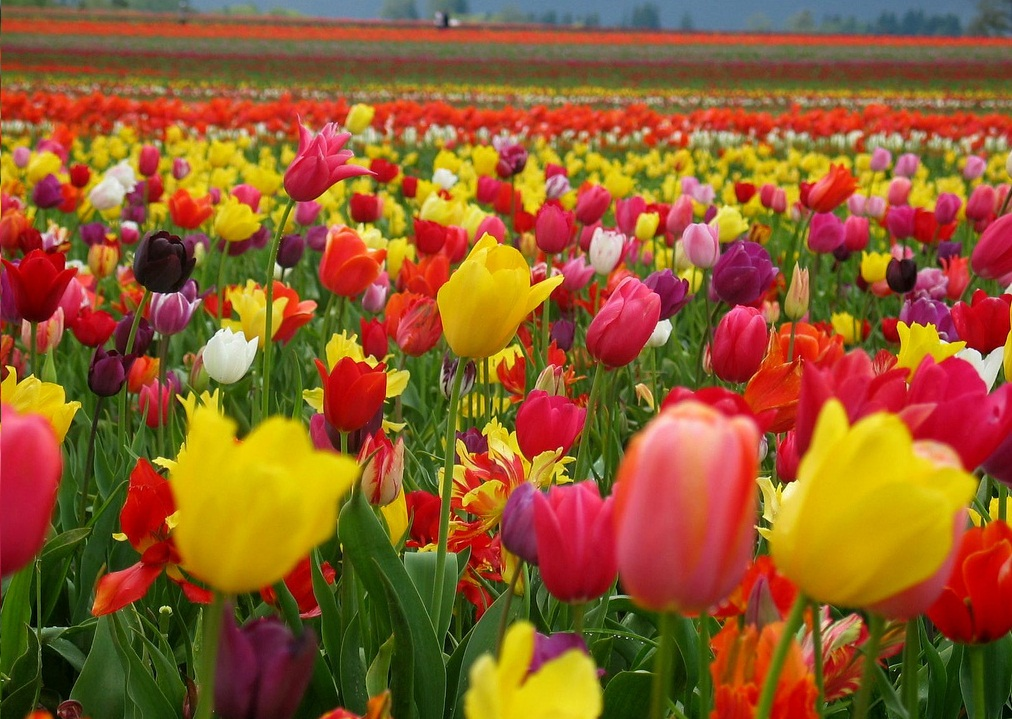 colorful tulip flowers -#main