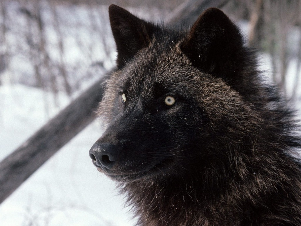 cool wolf pics