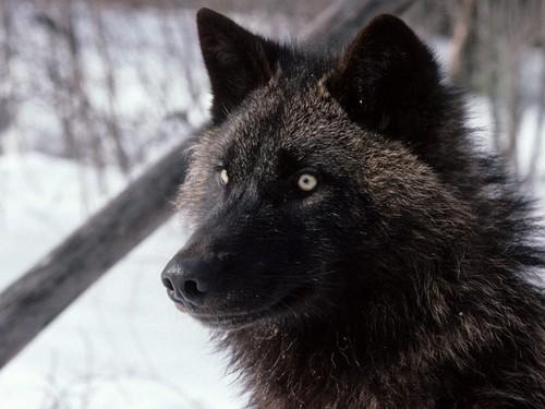 cool serigala pics