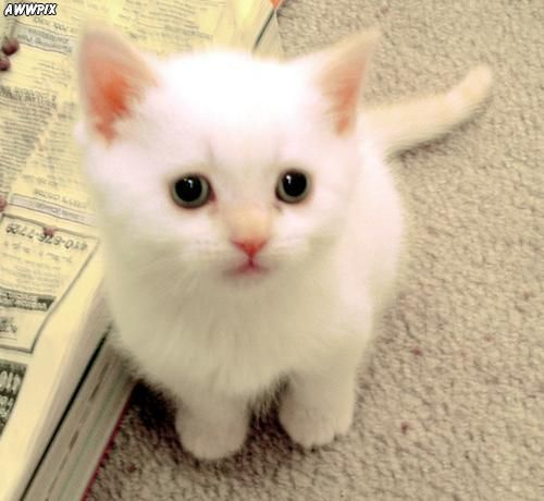 cute little white kitten