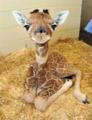 Cute Baby Giraffe - giraffes photo