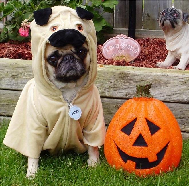 Cute हैलोवीन Pug Costume