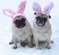 Cute Pug Dog Easter Bunnies