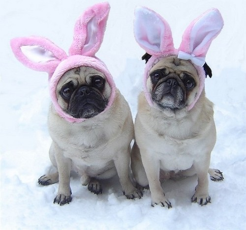 Cute Pug Dog Easter Bunnies