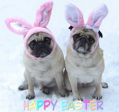 Cute Pug Dogs Happy Easter - the-animal-kingdom Photo