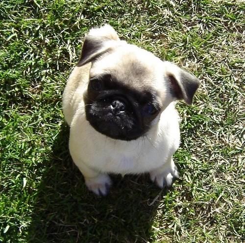 Cute Pug cachorro, filhote de cachorro