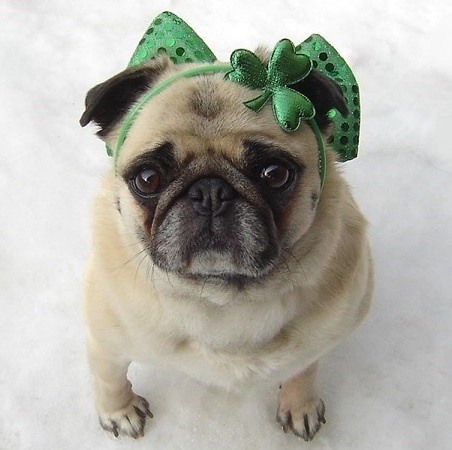 All Small Dogs wallpaper called Cute Pug St. Patrick Day Diva
