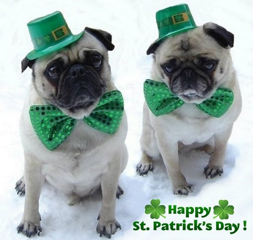 Cute Puppies achtergrond entitled Cute Pugs St. Patrick's dag