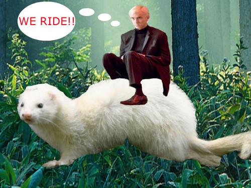Draco's furão