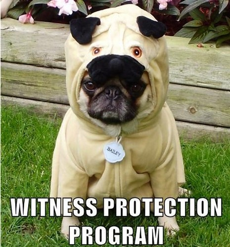 Funny Pug Costume Meme Witness Protection