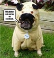 Funny Pug Costume Meme - lol photo