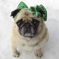 Funny Pug St. Patrick Day Diva!