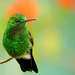 Hummingbird - green icon