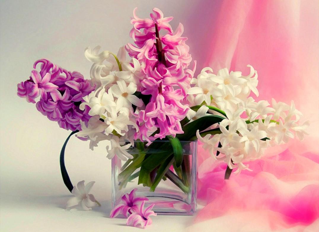 Hyacinthus Flowers Fanpop