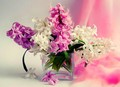 Hyacinthus - flowers photo