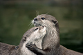 Otters  - animals photo