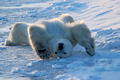 Polar Bear  - animals photo