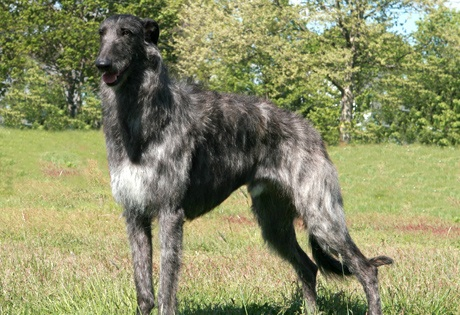 Scottish Deerhounds wallpaper probably with a scottish deerhound entitled Scottish Deerhounds