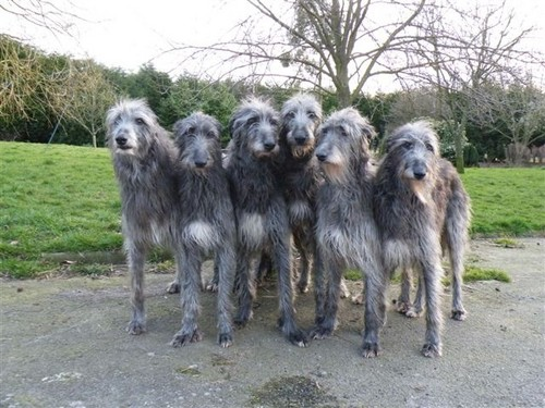 Scottish Deerhounds wallpaper probably containing a scottish deerhound entitled Scottish Deerhounds