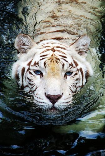 Snow Tiger