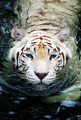 Snow Tiger  - animals photo