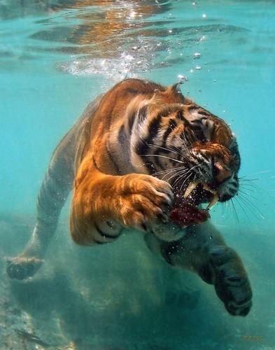 Underwater Tiger