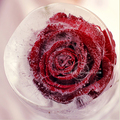 A Passion for Roses - daydreaming photo