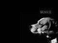 BEAGLE - dogs wallpaper