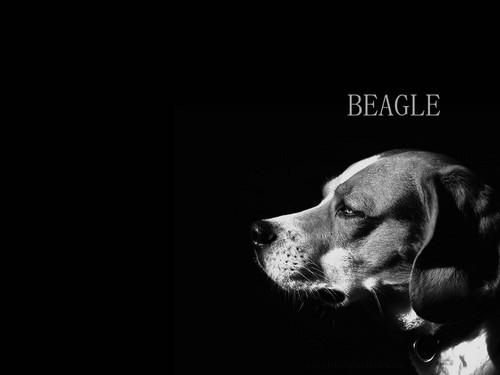 bigle, beagle