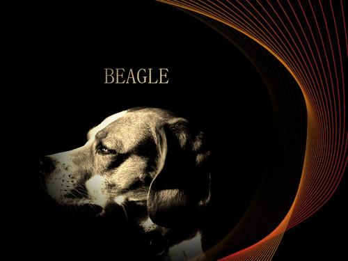 Dog bigle, beagle