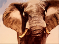 Elephant  - animals wallpaper