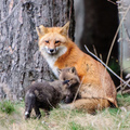 Fox  - animals photo