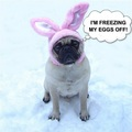 Funny Dog Meme Pug Bunny Blue Balls - animal-humor photo