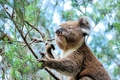 Koala  - animals photo