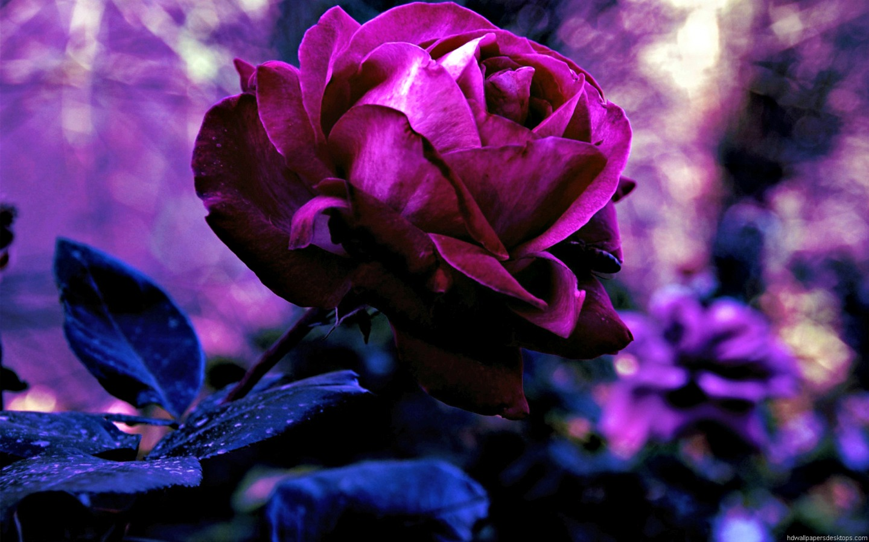 Обои для рабочего стола сиреневые розы