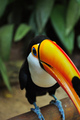 Toucan - animals photo