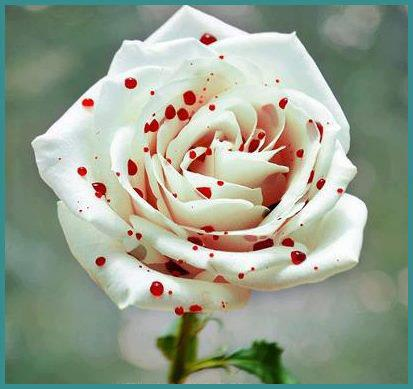 Flowers Images Beautiful White Rose Wallpaper And Background Photos