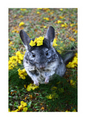 chinchilla flower 417