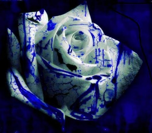 white and blue rose