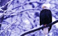 Bald Eagle  - animals wallpaper