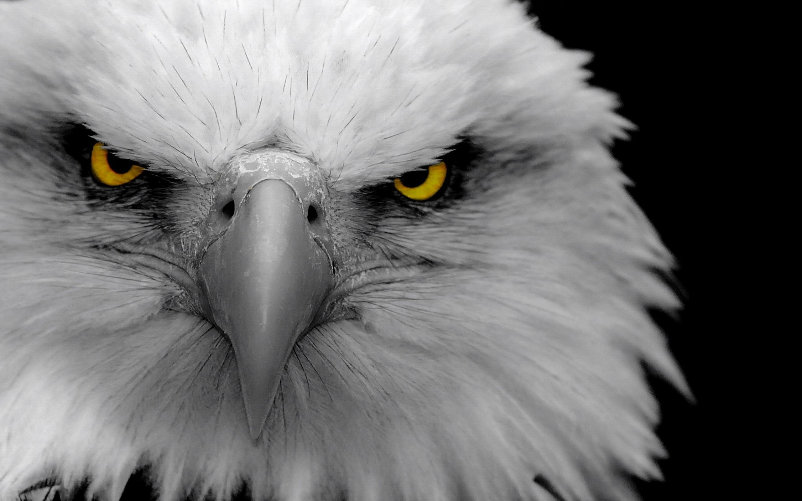 animals images bald eagle hd wallpaper and background photos (34195542)