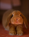 Bunny  - animals photo