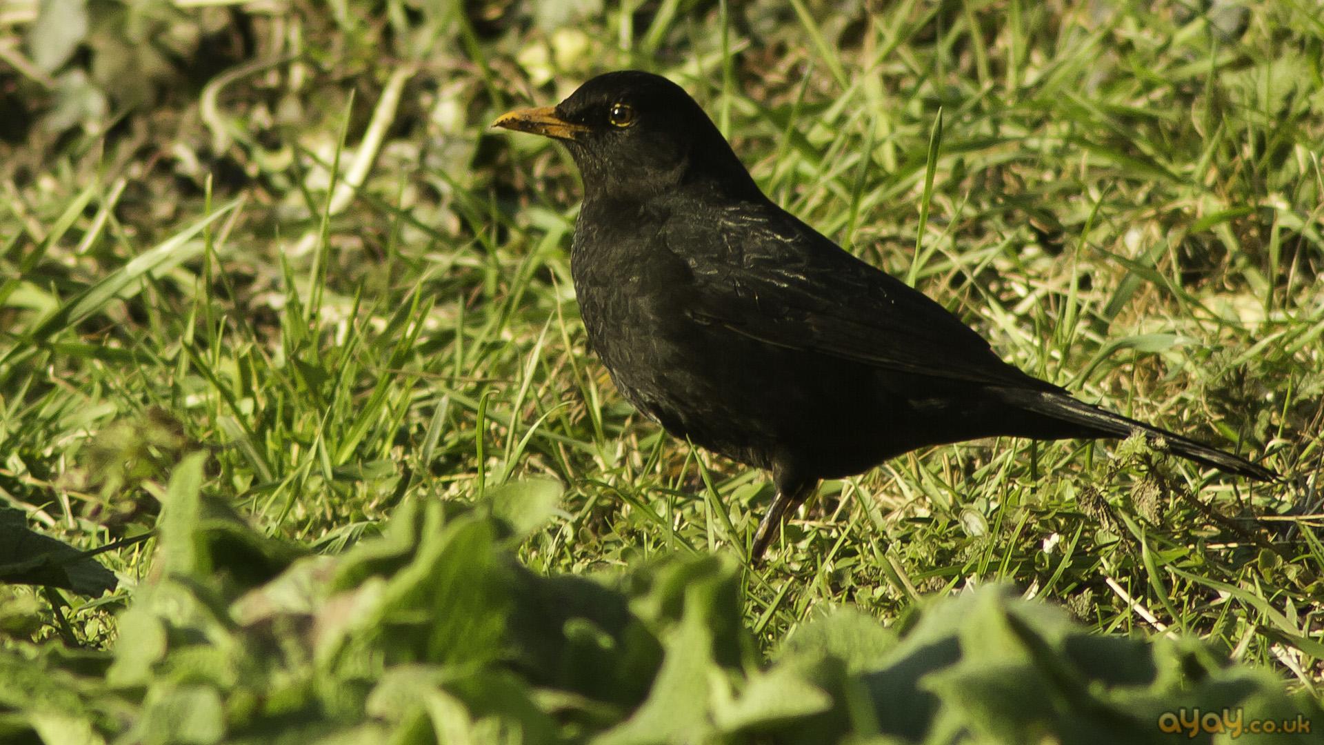 blackbird hopping on ঘাস